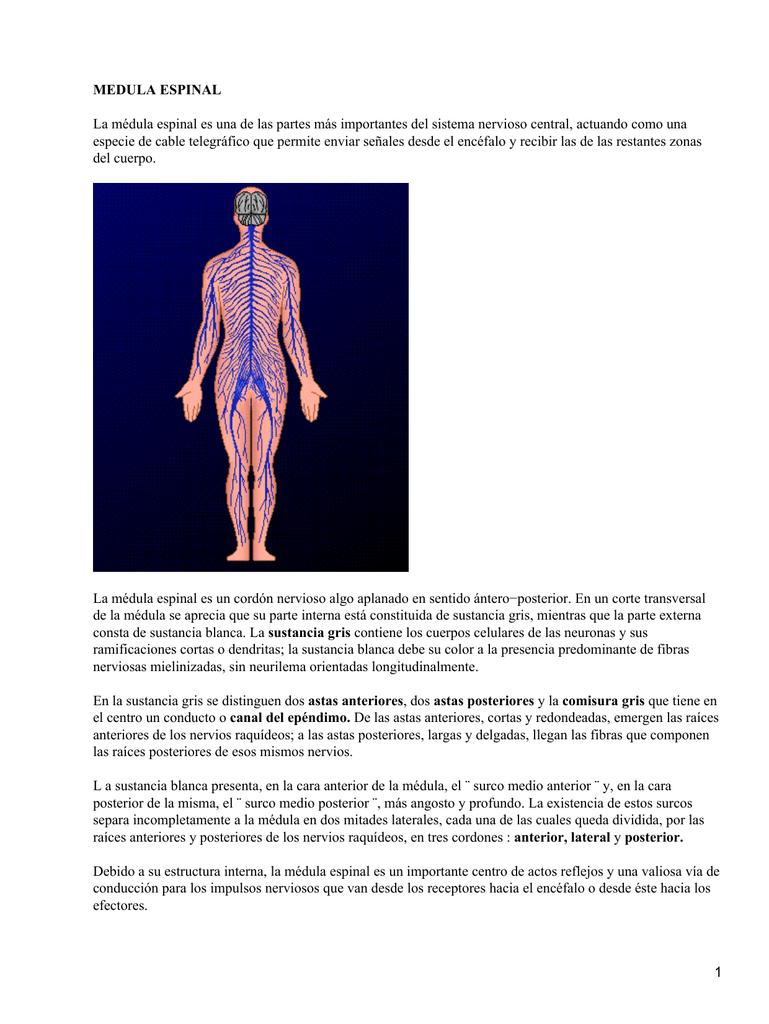 Médula Espinal Y El Sistema Nervioso Central