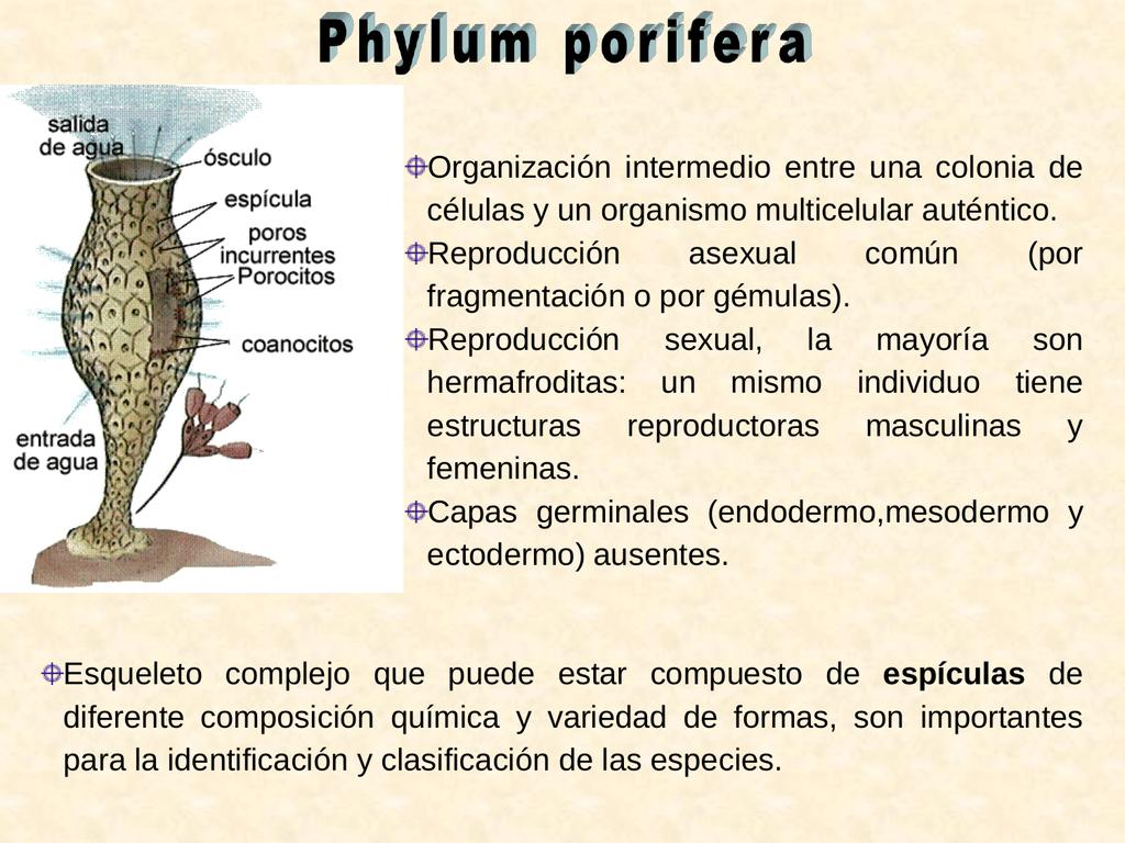 Phylum porífera