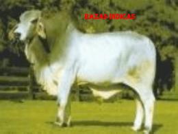 Vacas de raza índica