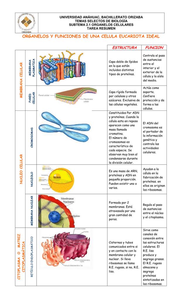 Organelos Y Funciones De Una Celula Eucariota Ideal