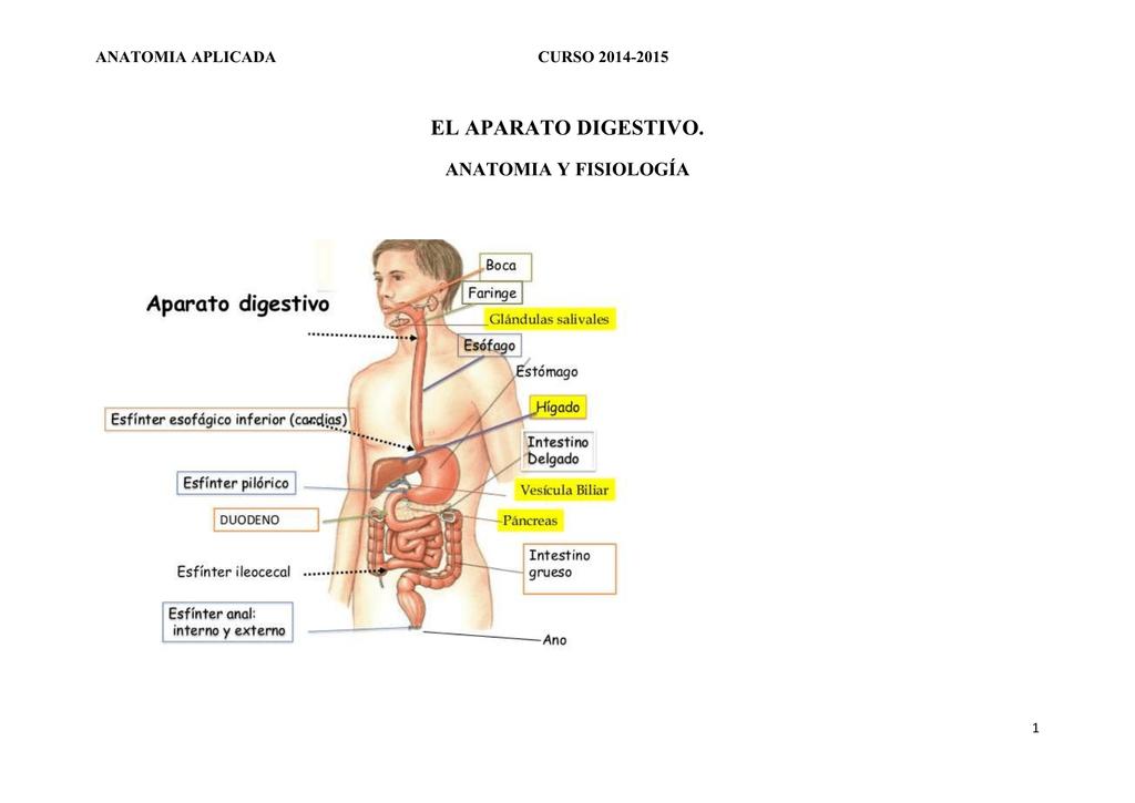 Intestino grueso - IES Carlos Bousoño