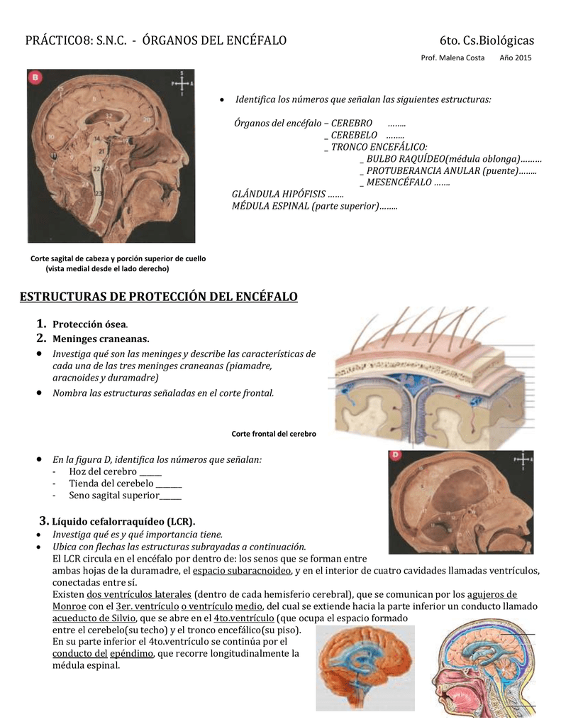 práctico 8 snc órganos del encéfalo