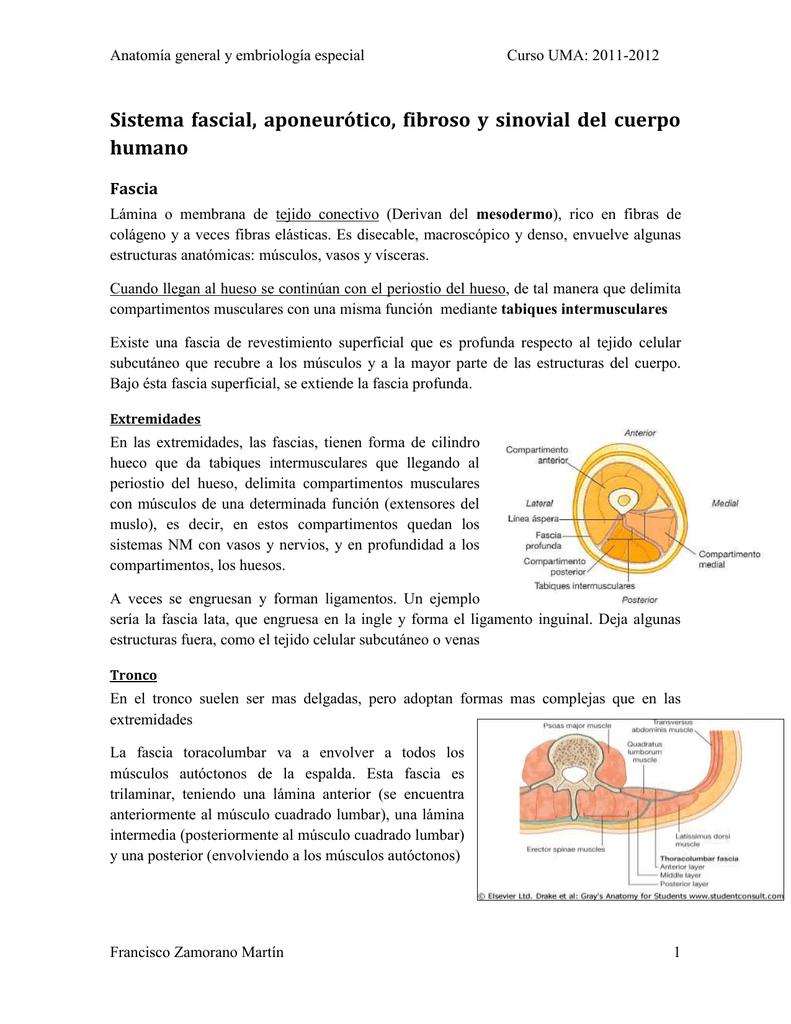 Sistema fascial, aponeurótico, fibroso y sinovial del cuerpo humano