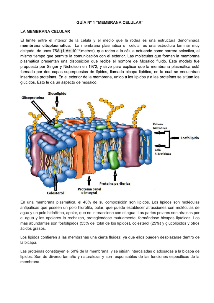 Guía Nº 1 Membrana Celular La Membrana Celular