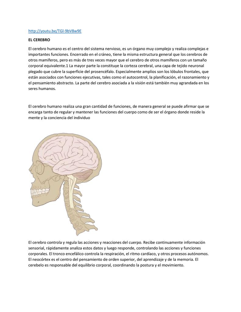 El Cerebro Humano Es El Centro Del Sistema Nervioso Es