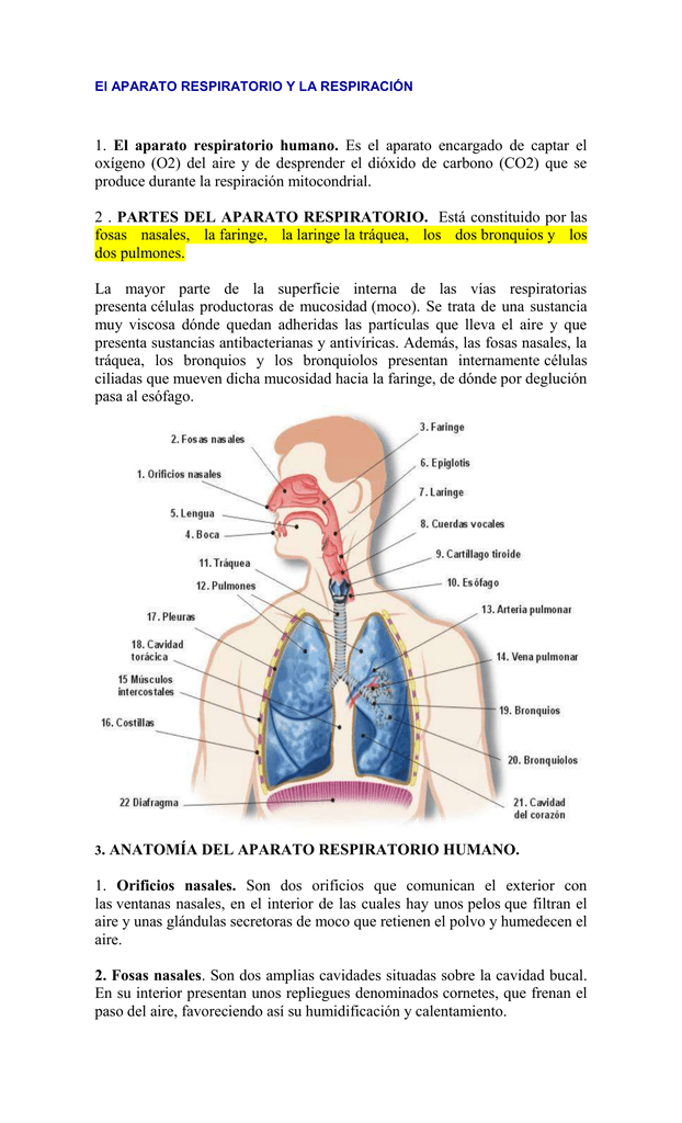 Lujo Respiración Externa Ornamento - Imágenes de Anatomía Humana ...