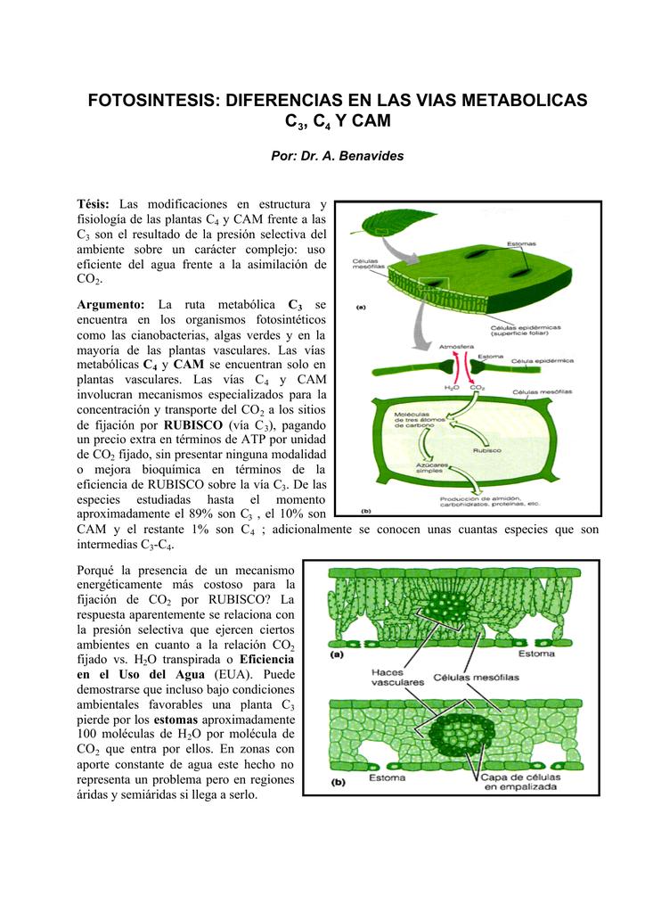 Fotosintesis prop plantas c3, c4, CAM