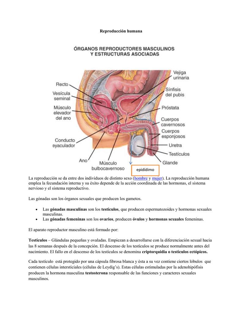 función reproductora masculina del sistema reproductivo