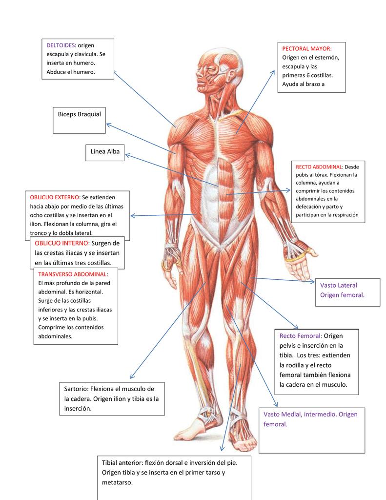 PECTORAL MAYOR: : origen escapula y clavícula. Se Origen en el esternón,