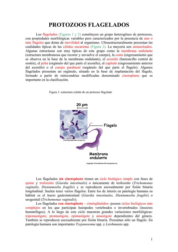 Protozoos Flagelados
