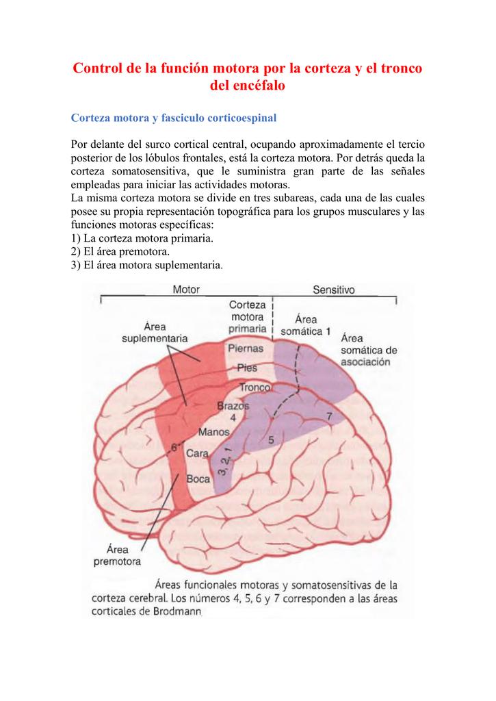 Control de la función motora por la corteza y el tronco