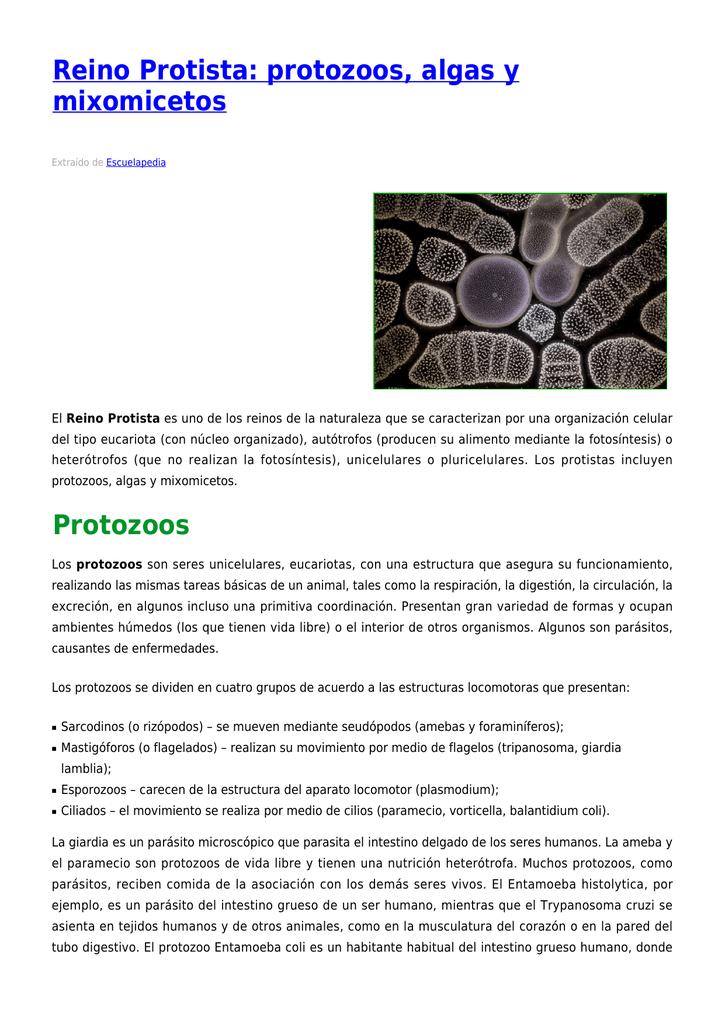 Reino Protista Protozoos Algas Y Mixomicetos