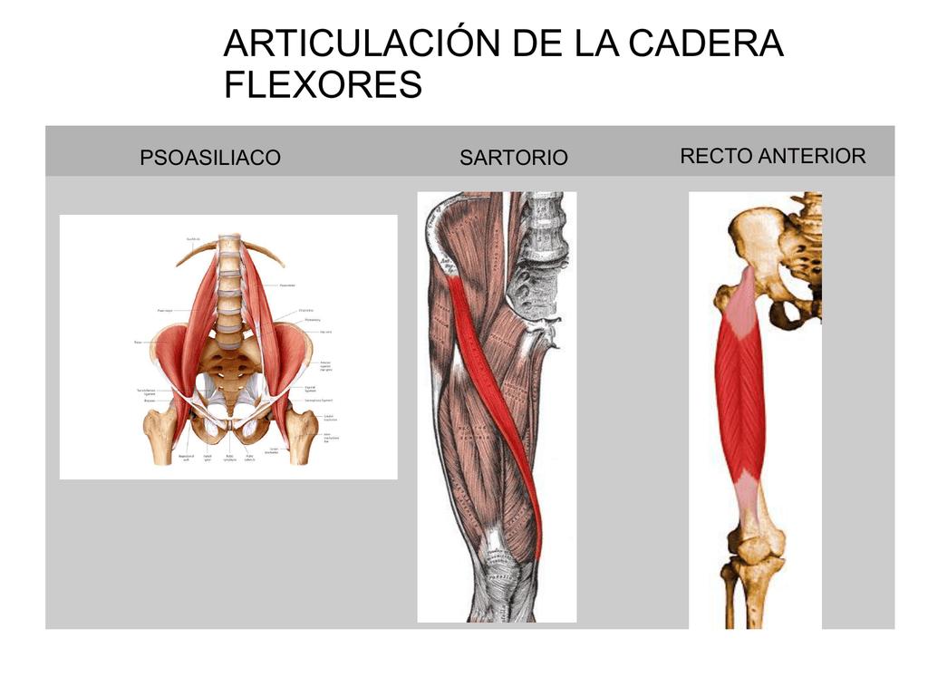 Anterior la pierna recto musculos de