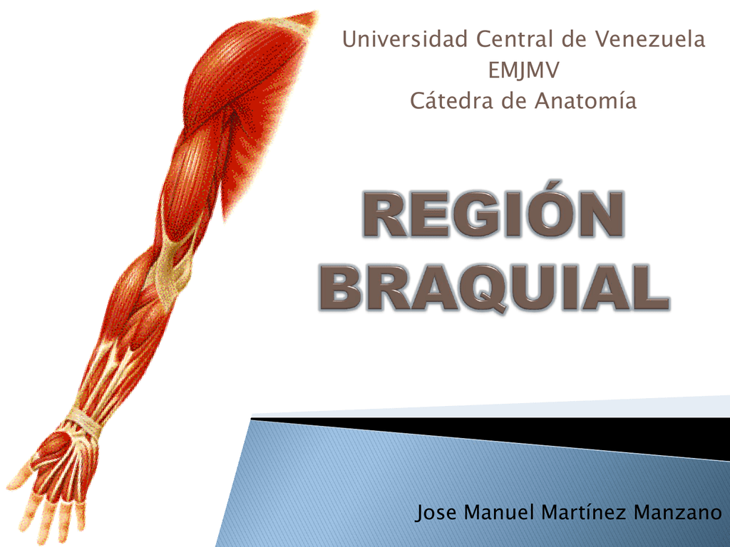 region braquial - Anatomía Vargas UCV