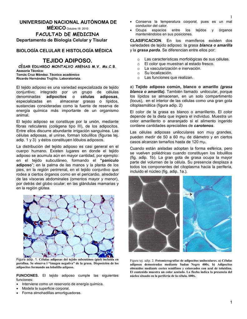 Tejido Adiposo - Departamento de Biología Celular y Tisular