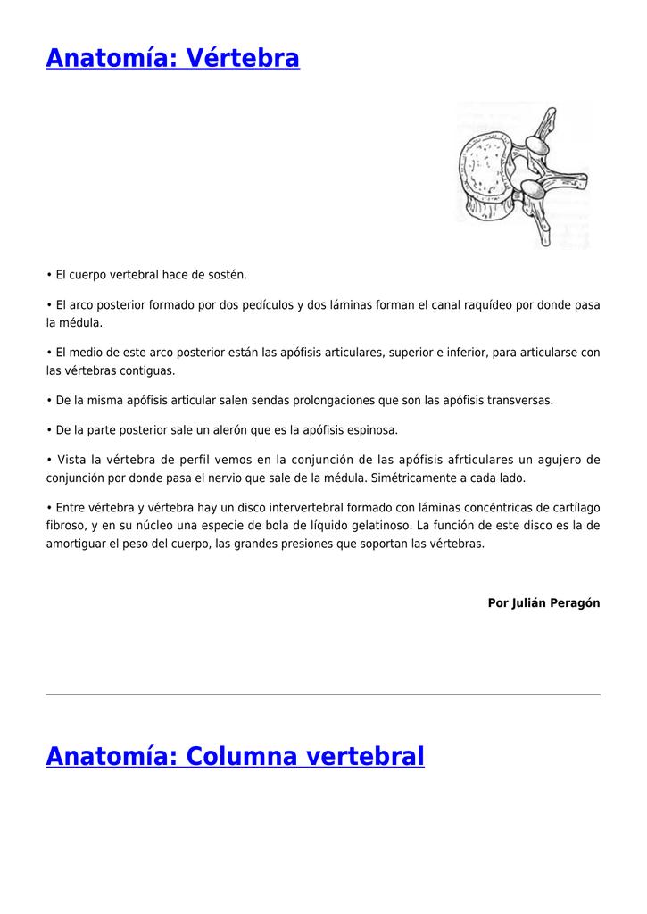Anatomía: Recto anterior del abdomen,Anatomía: Vértebra