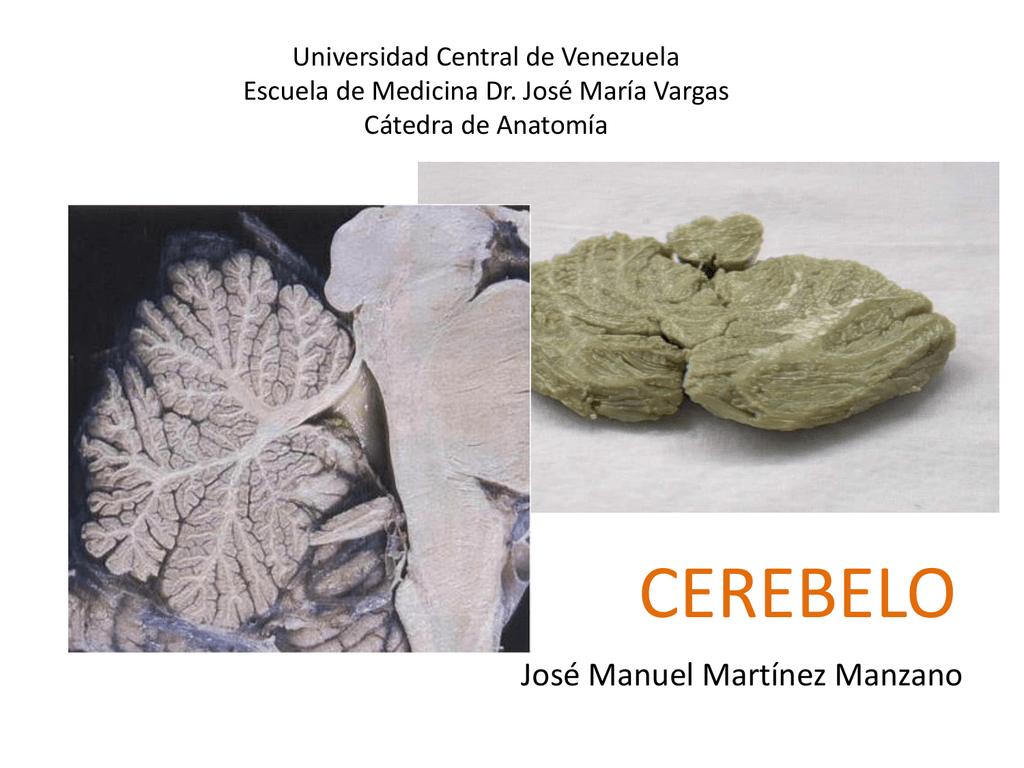 cerebelo - Anatomía Vargas UCV
