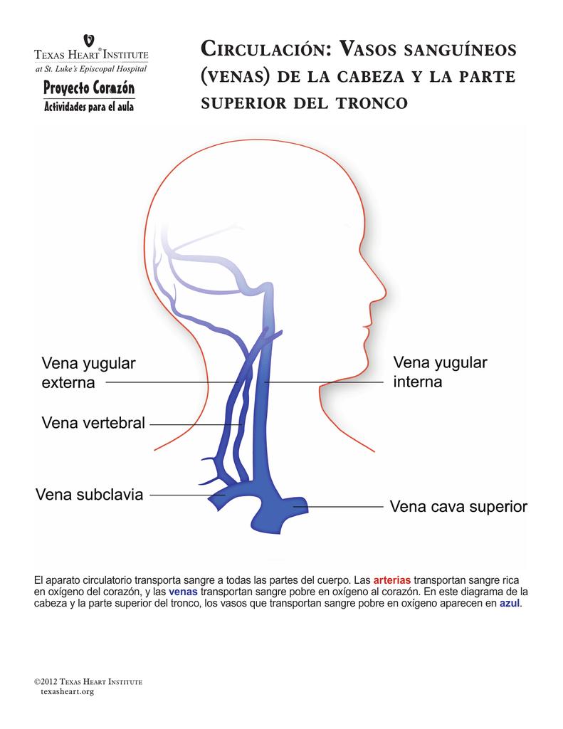 CirCulaCión: Vasos sanguíneos