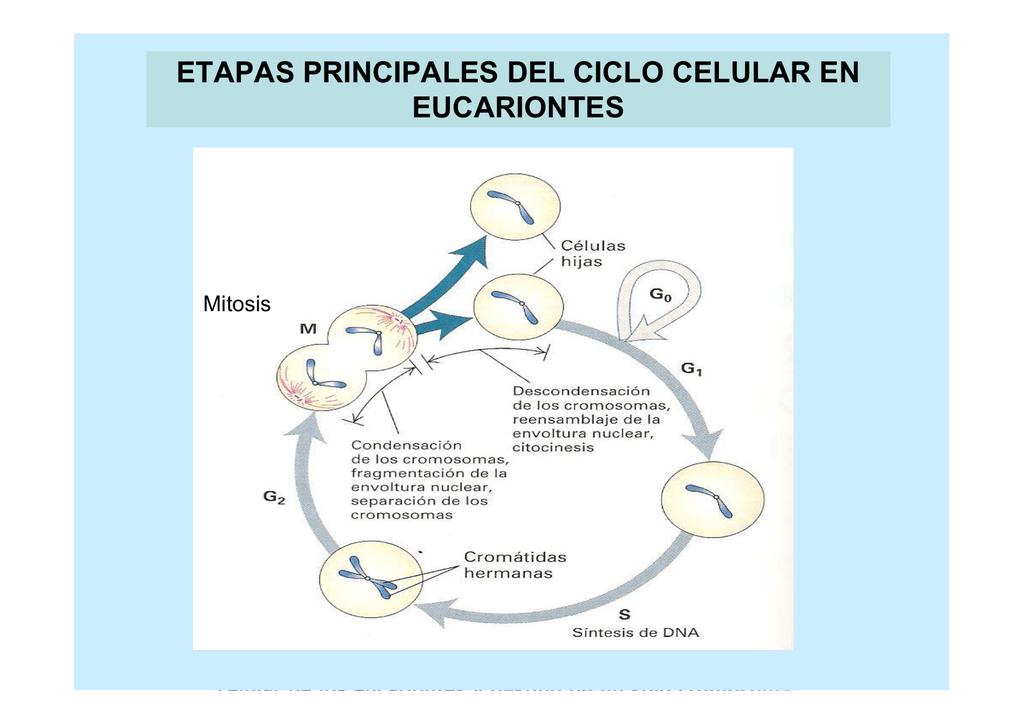 Excepcional Mitosis Y La Hoja De Trabajo Del Ciclo Celular Molde ...