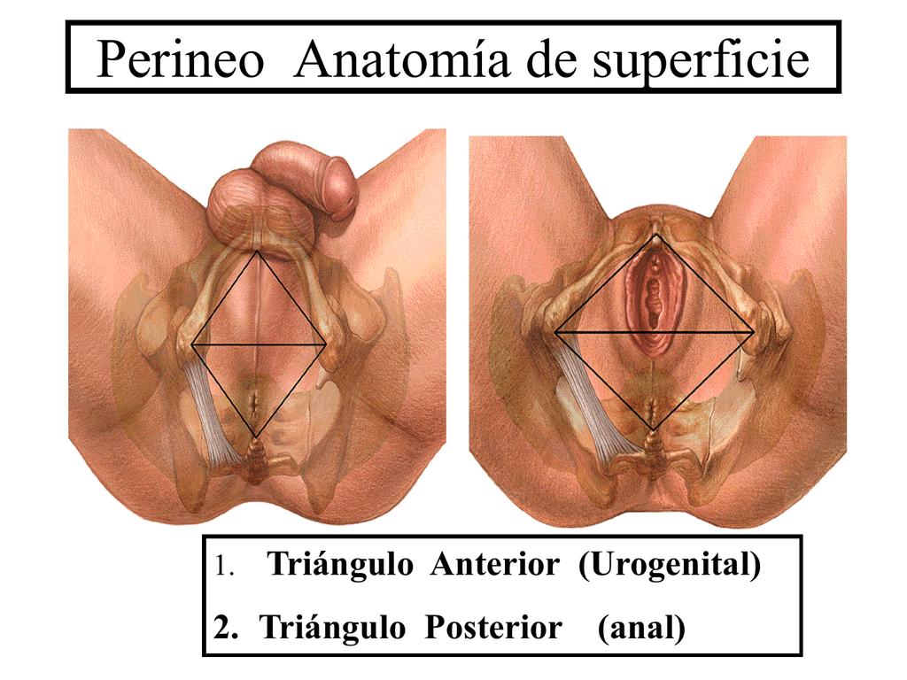 Perineo Anatomía de superficie