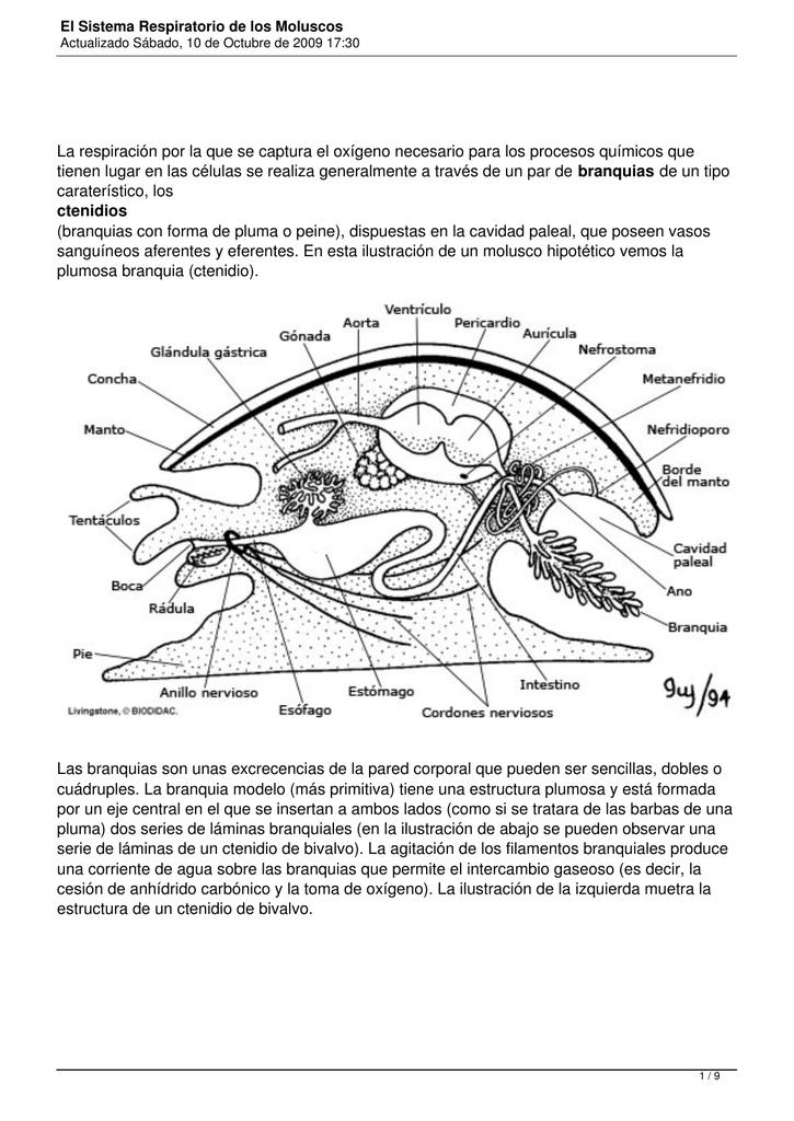 El Sistema Respiratorio de los Moluscos