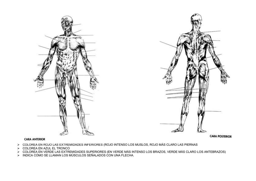 Musculos extremidades inferiores anterior