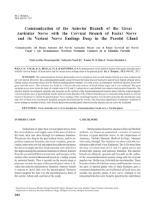 Communication of the Anterior Branch of the Great Auricular Nerve