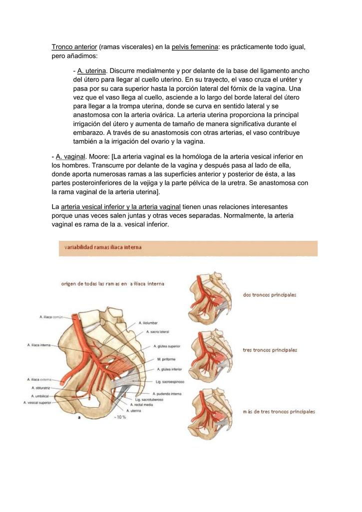 Tronco anterior (ramas viscerales) en la pelvis femenina: es