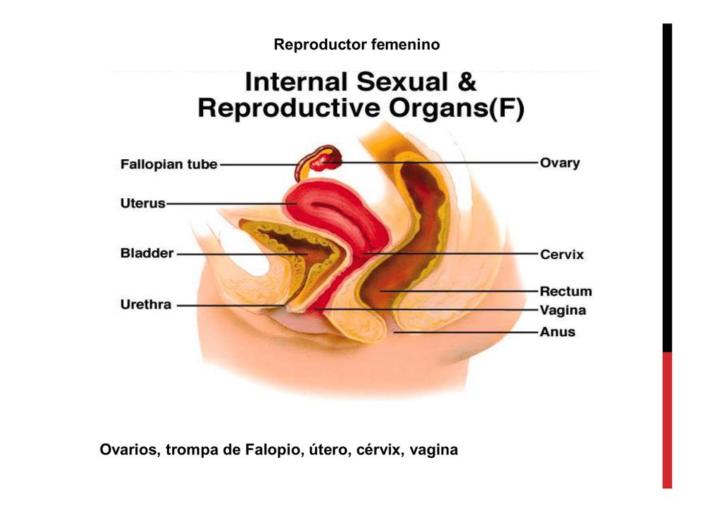 Reproductor femenino Ovarios, trompa de Falopio, útero, cérvix