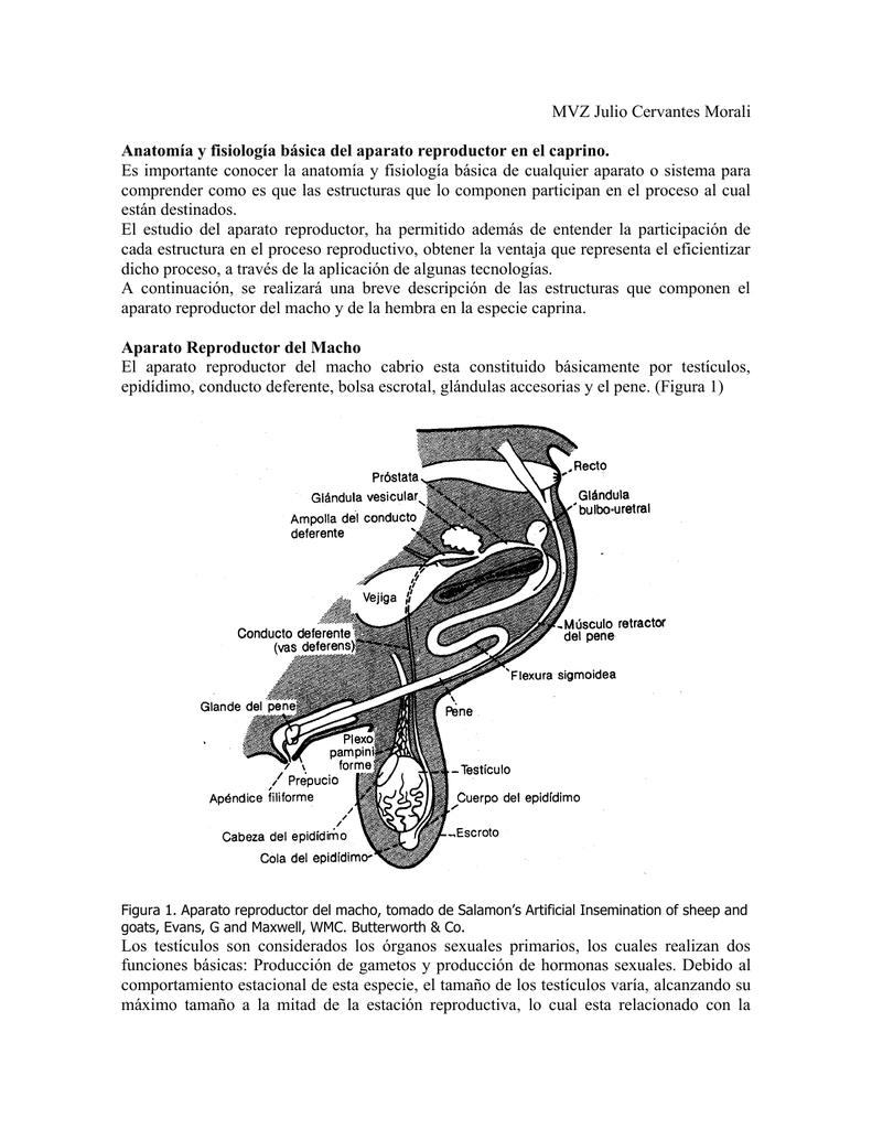 Anatomía y Fisiología del aparato reproductor en el caprino