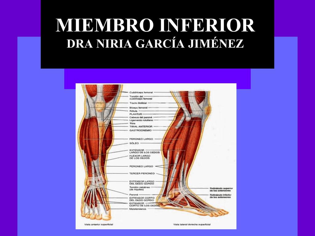 musculos del muslo compartimiento anterior