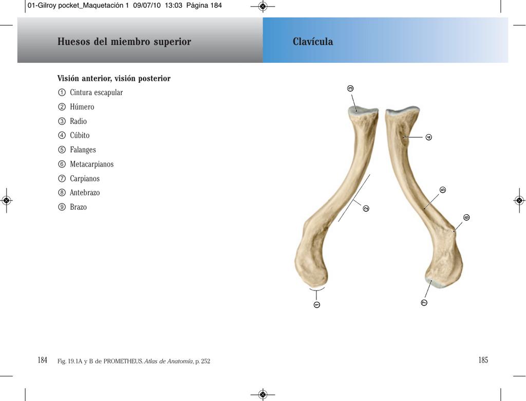 Clavícula Huesos del miembro superior