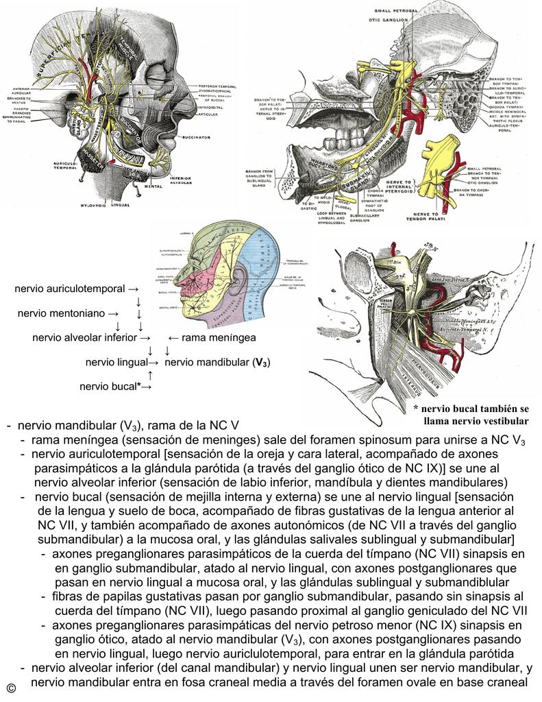 nervio mandibular (V3), rama de la NC V
