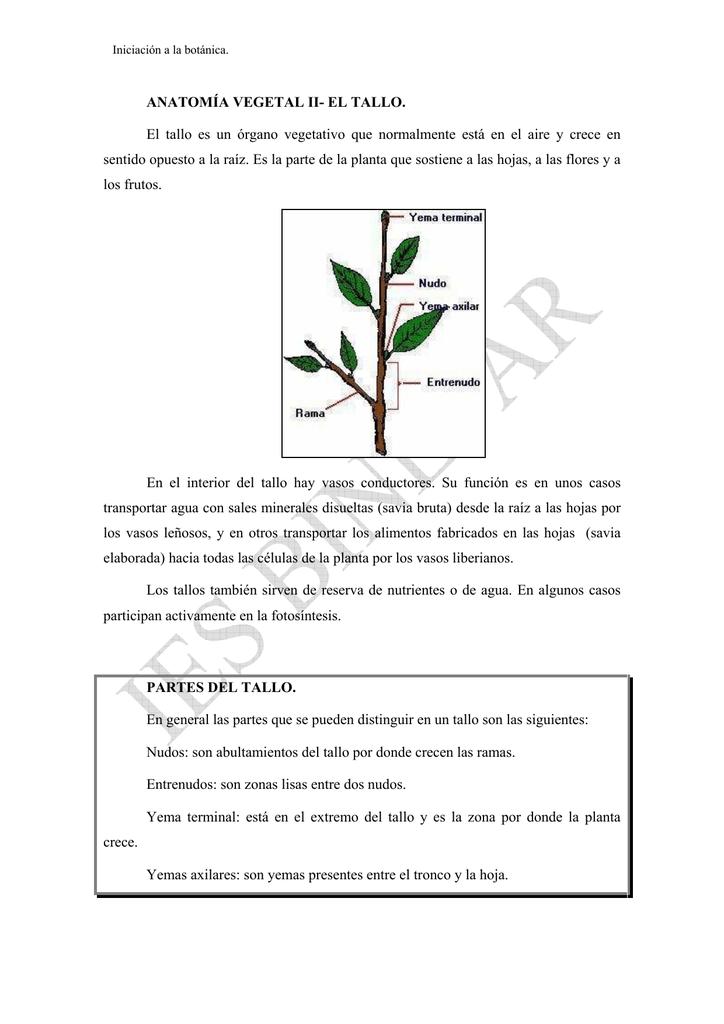 ANATOMÍA VEGETAL II- EL TALLO. El tallo es un órgano vegetativo