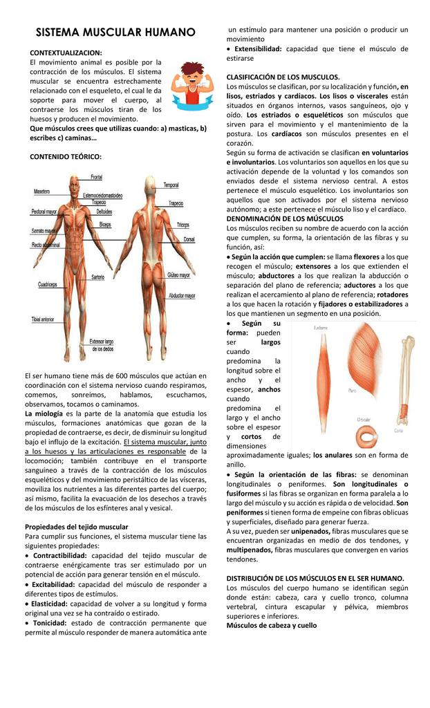sistema muscular humano