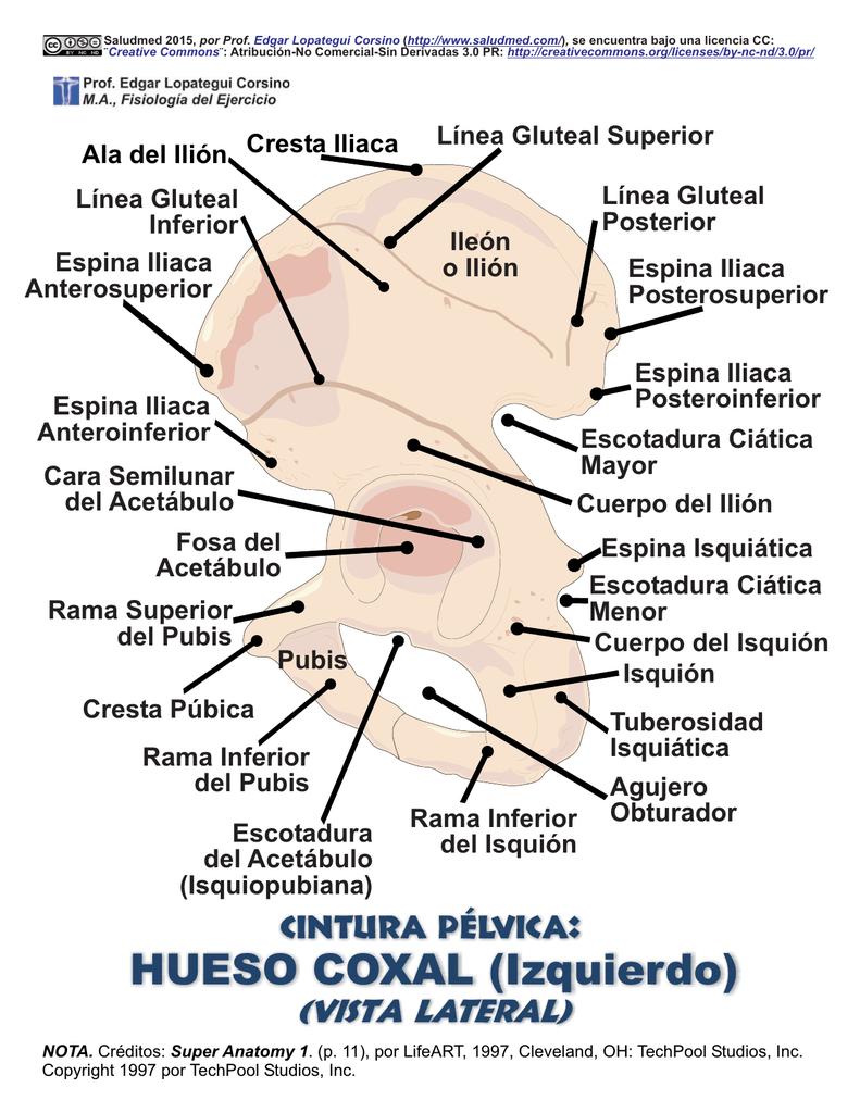 HUESO COXAL (Izquierdo)