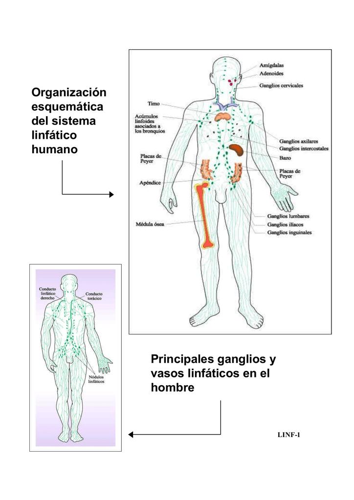 Organización esquemática del sistema linfático humano Principales