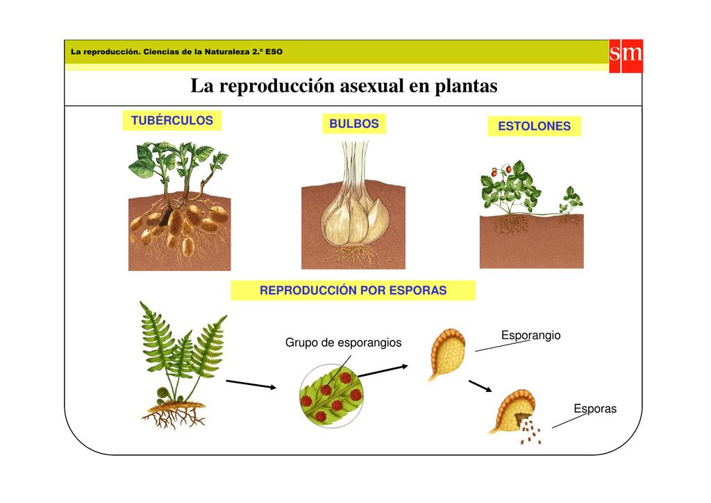 Estolones reproduccion asexual plantas