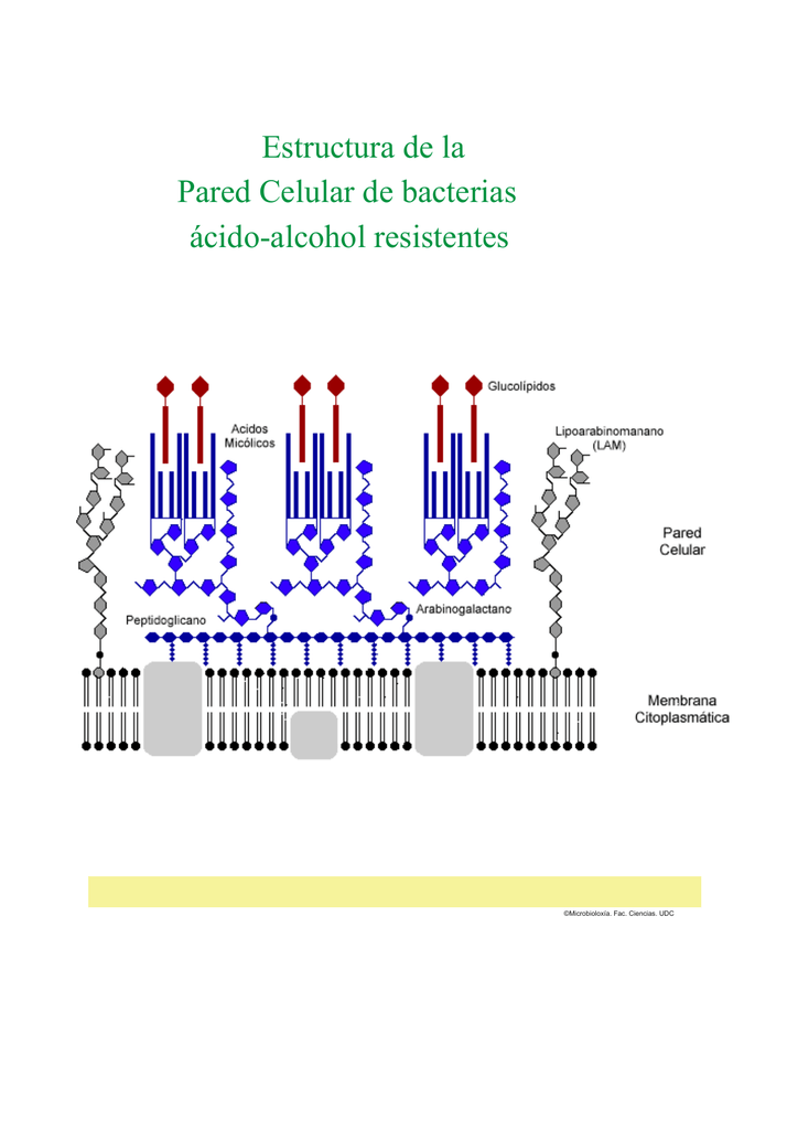 Estructura De La Pared Celular De Bacterias ácido Alcohol