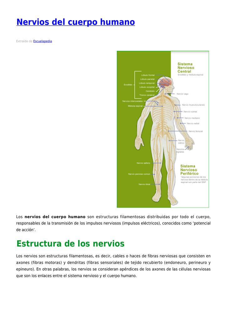 Nervios Del Cuerpo Humano