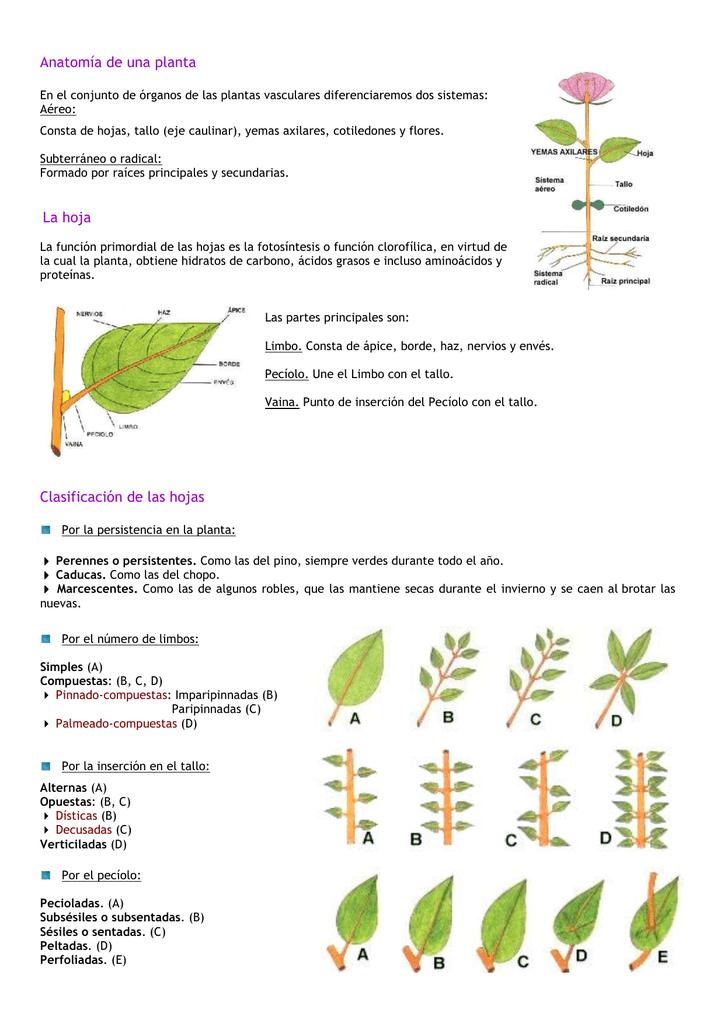 Anatomía de una planta La hoja Clasificación de las hojas