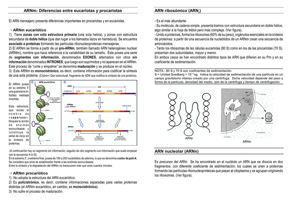 Arnm Diferencias Entre Eucariotas Y Procariotas Arn Ribosómico