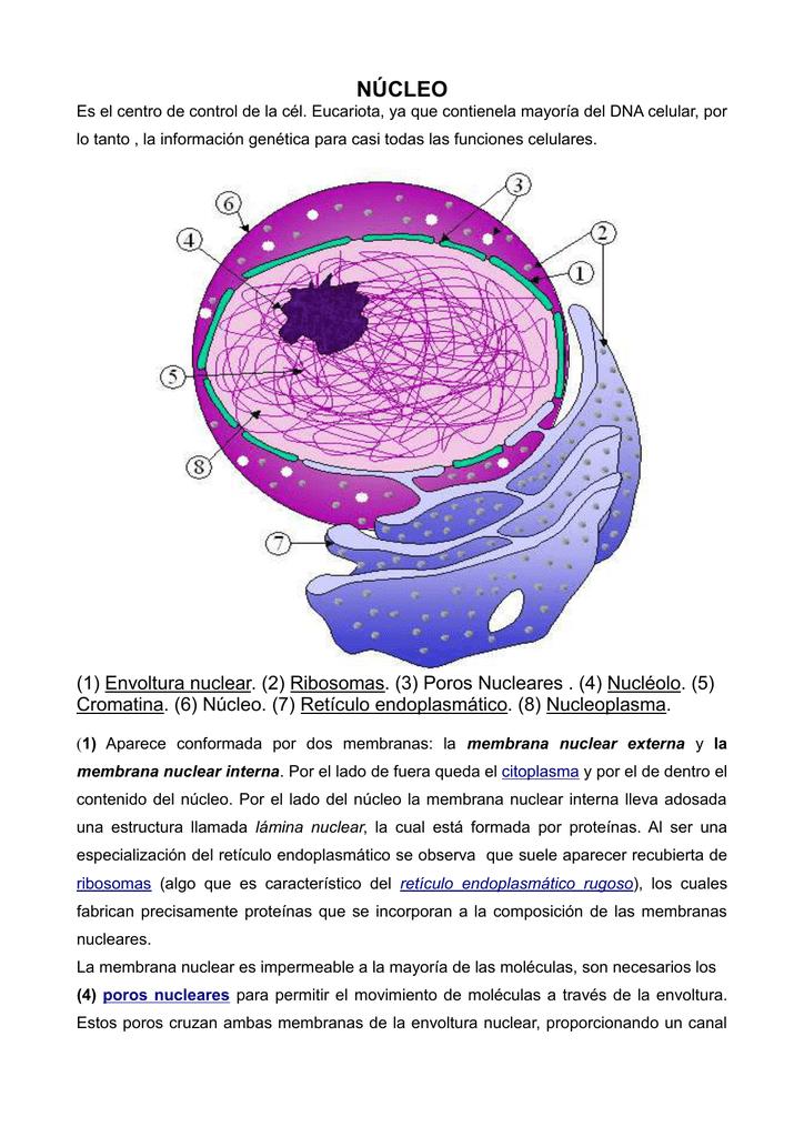 Núcleo Célula Eucariota