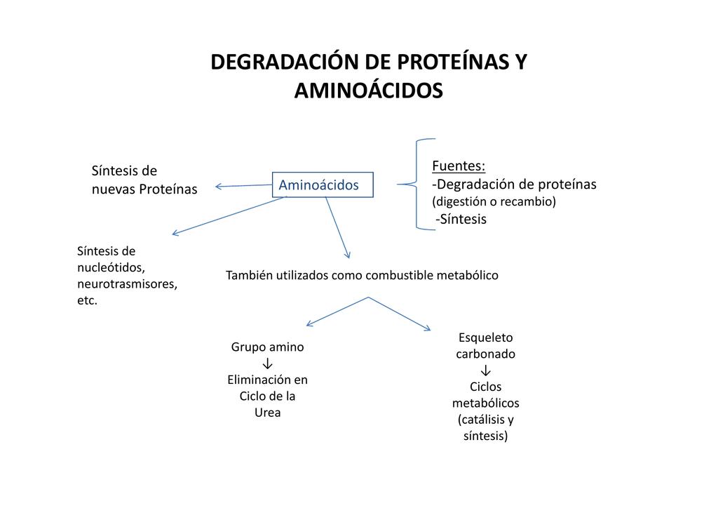 Resultado de imagen para degradacion de proteinas