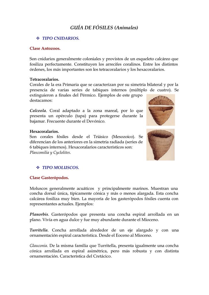 Turritella f/ósiles