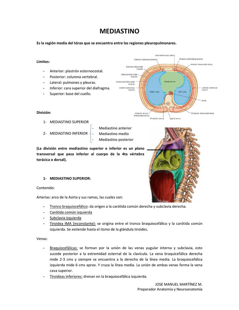 mediastino - Anatomía Vargas UCV