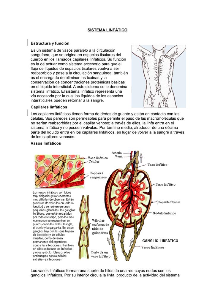 SISTEMA LINFÁTICO Estructura y función Es un sistema de vasos
