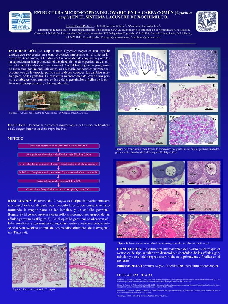 Estructura Microscópica Del Ovario En La Carpa