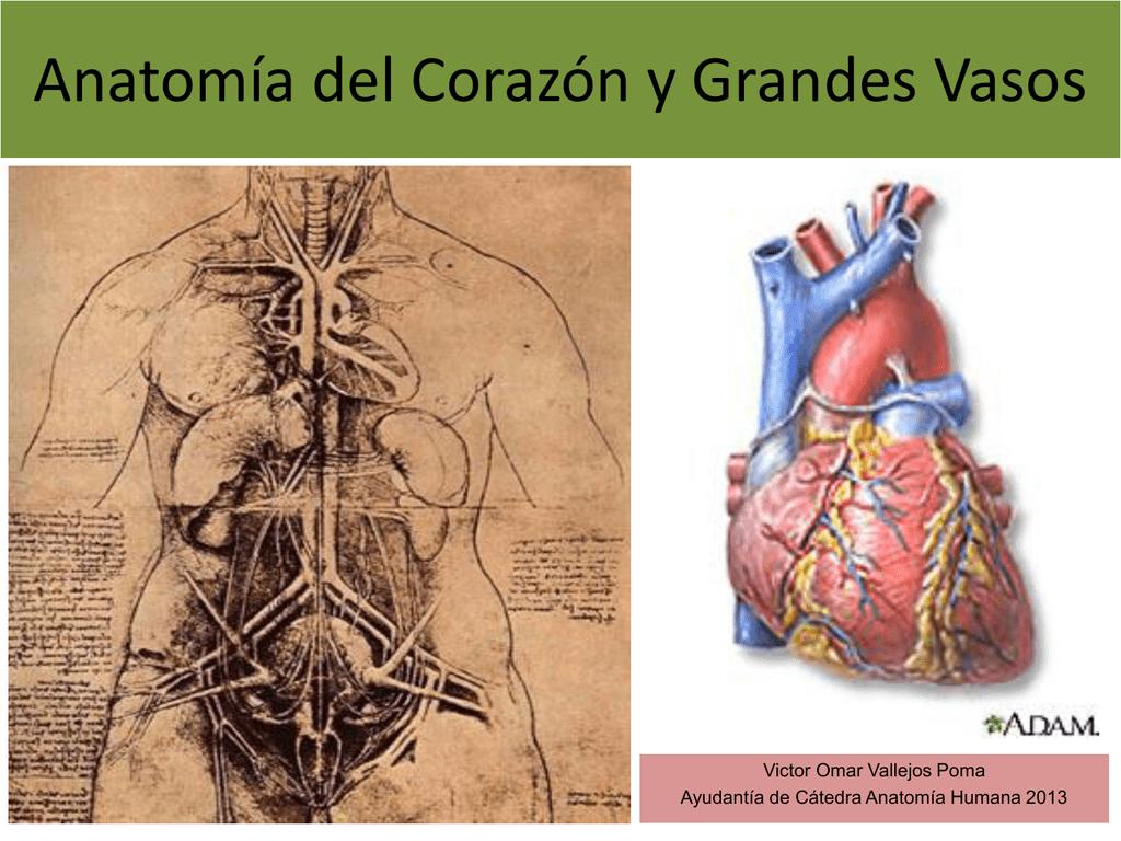 1.1-Anatomia del corazon y grandes vasos(modificado)