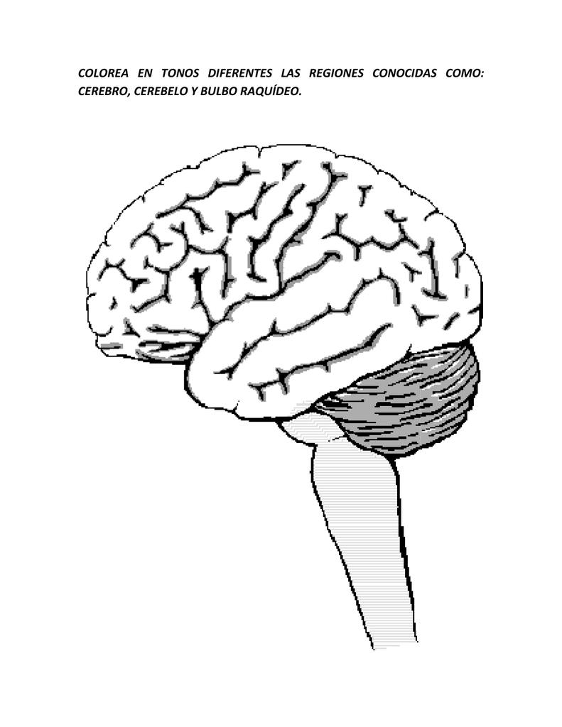Colorea En Tonos Diferentes Cerebro Cerebelo Y